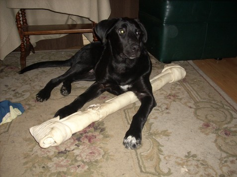 The bone is over three feet long, and he carries it around like it's nothing.